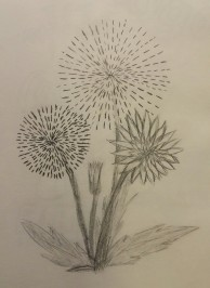 Firework Dandelions, Pencil, July 2008