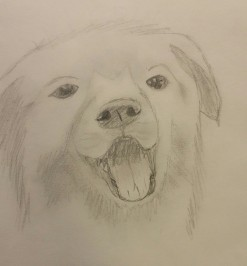 Golden Retriever, Pencil, July 2008